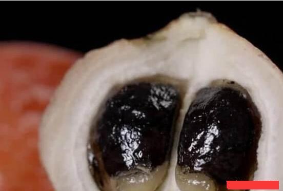 西非竹芋果实2